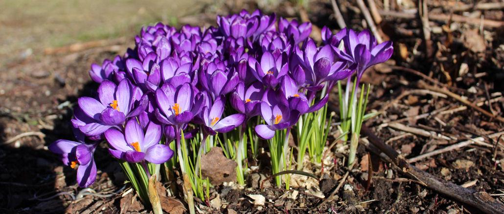 Krokusse mit lila Blüte.
