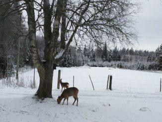 Drei Rehe in Schweden