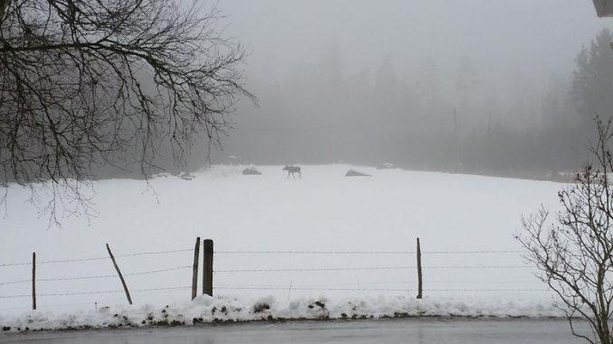 Ein Elch in Schweden