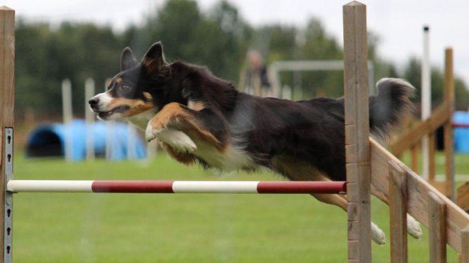 Ein Hund springt über ein Hindernis