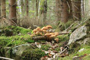 Pilze im schwedischen Wald