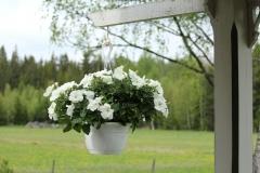SvenskaNyheter_2019-05-18_Schweden_Petunie
